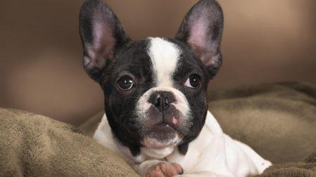 bulldog, dog, face