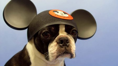 bulldog, dog, hat