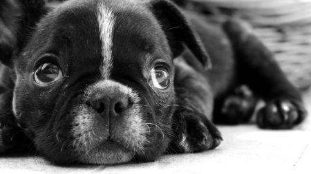 bulldog, puppy, dog