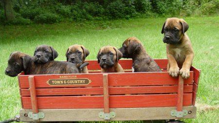 bullmastiff, puppies, trailer