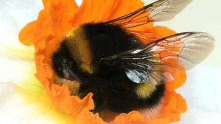 bumble bee, flower, hiding