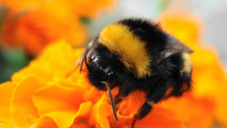 bumble bee, flower, striped