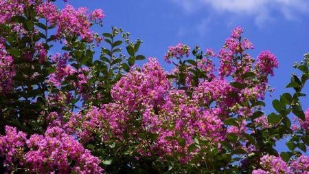 bush, blossoms, clouds