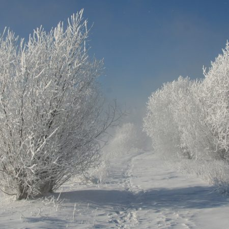 bushes, hoarfrost, snow