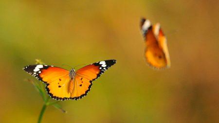 butterflies, lubricated, flight