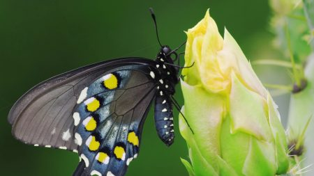 butterfly, black, spotted