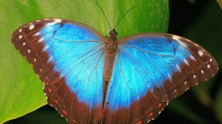 butterfly, blue, leaves