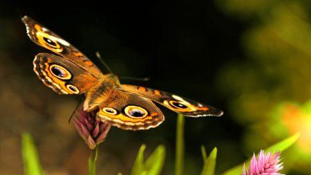 butterfly, flight, wings