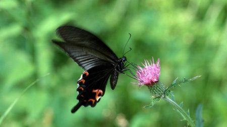 butterfly, flower, fly