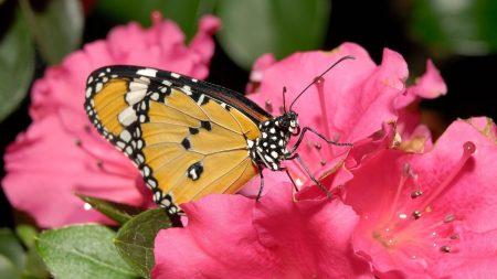 butterfly, flower, pink