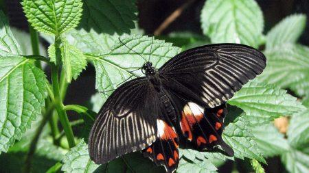 butterfly, flying, wings