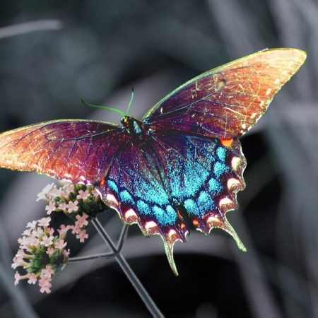 butterfly, insect, flower