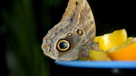 butterfly, orange, bowl