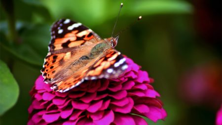 butterfly, red, pink
