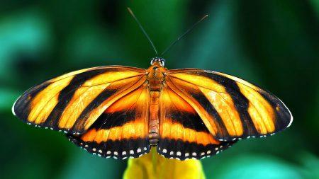 butterfly, species, wings