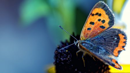 butterfly, spotted, wings