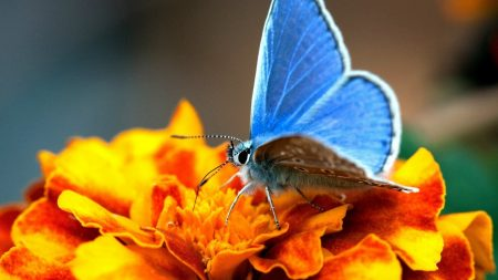 butterfly, wings, black