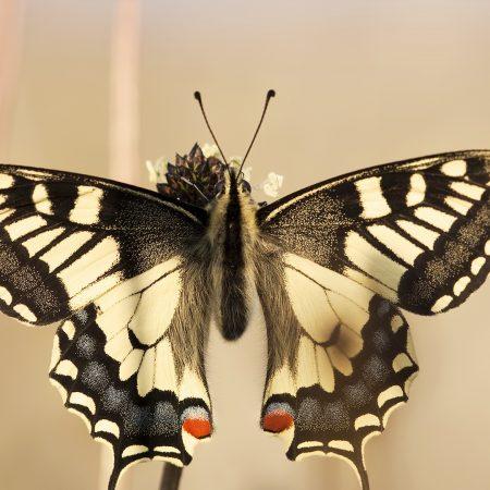 butterfly, wings, fly