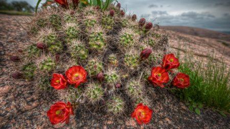 cactus, bloom, needles