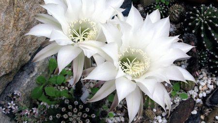 cactus, flower, flowering