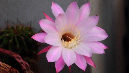 cactus, flowering, flower