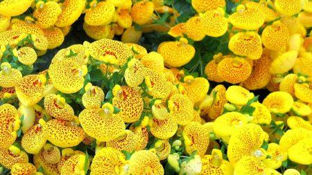 calceolaria, yellow, bright