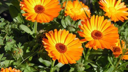 calendula, flowers, herbs