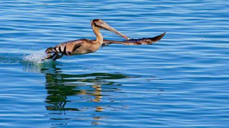 california pelican, water, bird