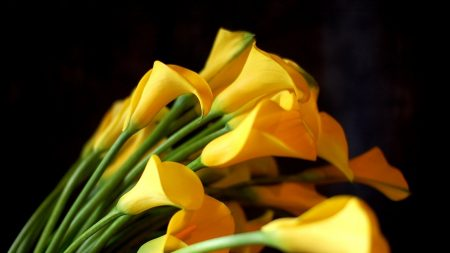 calla lilies, flowers, yellow