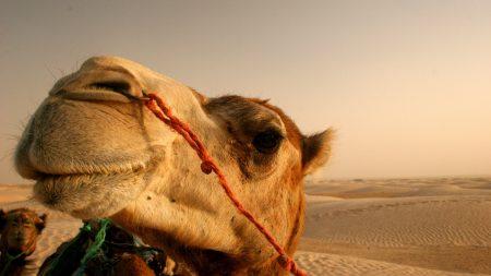 camel, face, desert