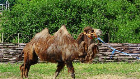 camel, humps, steam