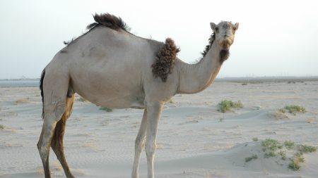 camel, light, sand