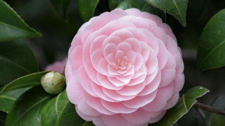 camellia, flower, soft