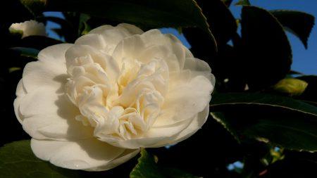 camellia, flower, white