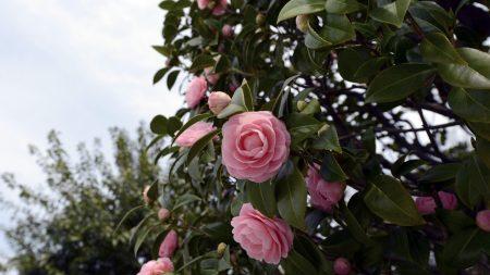 camellia, flowering, shrubs