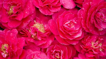 camellia, pink, lot