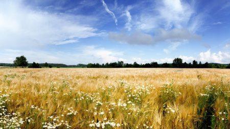 camomiles, field, flowers