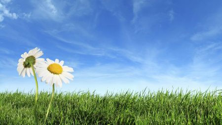 camomiles, flowers, field