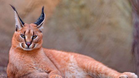 caracal, big cat, lay