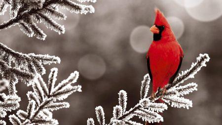 cardinal red, branch, bird