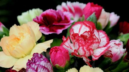 carnations, flowers, bright