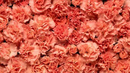 carnations, flowers, petals