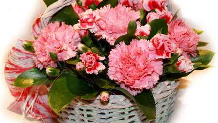 carnations, flowers, pink