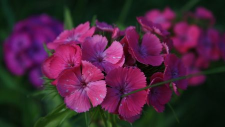 carnations, flowers, small