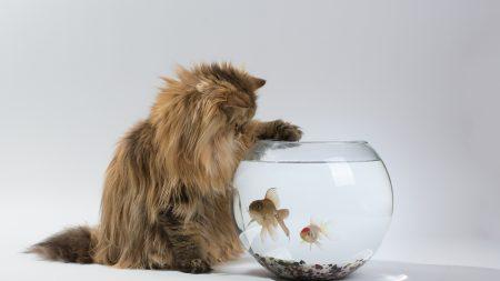 cat, aquarium, fish