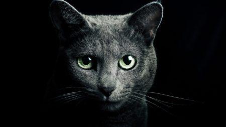 cat, black, breed