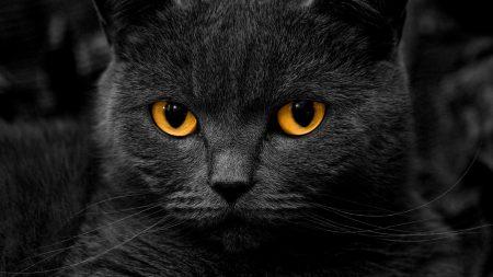 cat, british, eye