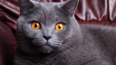 cat, british, face