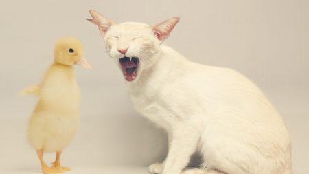cat, duck, white