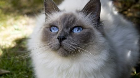 cat, face, blue-eyed